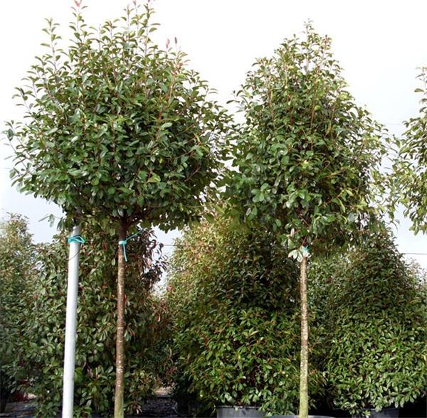 photinia fraseri red robin haute tige 180 cm pot central jardin. Black Bedroom Furniture Sets. Home Design Ideas