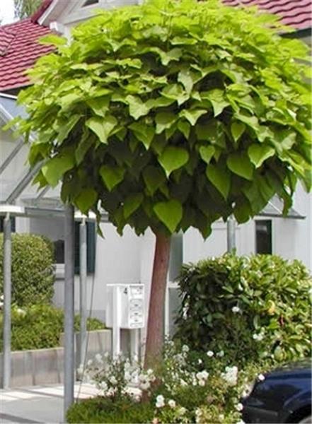 catalpa bungei dt pot central jardin. Black Bedroom Furniture Sets. Home Design Ideas