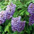 Wisteria frutescens Amethyst Falls ® Demi Tige Pot C20
