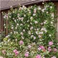 Rosier The Wedgewood Rose grimpant Pot C3L **Parfumé et résistant aux maladies **