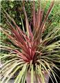 Cordyline australis Can Can Pot P23 - C5L