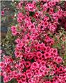 LEPTOSPERMUM scoparium Winter cheer C.2L RC