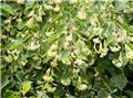 Tilia cordata Green Spire 200 250 Pot C15