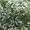 Philadelphus virginalis Minnesota Snowflake Pot C10L ** Très parfumé **
