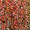 Prunus Incisa Frilly Frock haute Tige 12 14 Pot 35