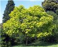 Catalpa bignonoides Aurea Haute Tige 10 12 Pot C18