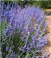 Perovskia atriplicifolia Lacey Blue Pot C3.6