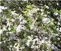Prunus eminens Umbraculifera Haute Tige 8 10 MG