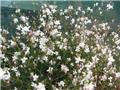 Gaura lindheimeri White Dove Pot P19 - C2L