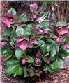 Helleborus Pennys Pink Pot P15