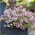 Deutzia Yuki Cherry Blossom Pot C3
