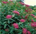 Spiraea japonica Dart s Red (Neon Flash) Pot C4