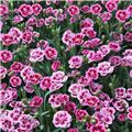 Dianthus Pink Kisses Pot P10-12