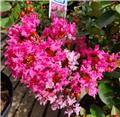 Lagerstroemia indica With Love Girl 60 80 cm Pot C5