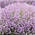 Lavandula angustifolia Rosea Pot P9