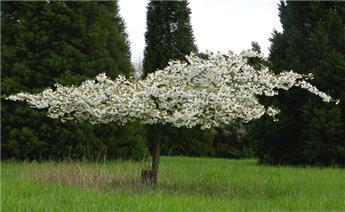 Prunus serrulata Shirotae Demi Tige 12 14 Pot C15