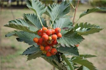 Sorbus aria Lutescens Haute Tige 20 25 ** Motte Grillagée forte plante