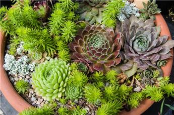 Sempervivum variés Pot P17 XL