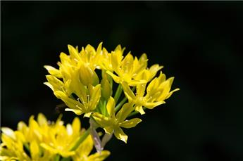 Allium moly pot prêt à planter +/- 12 bulb. / pot