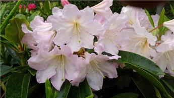 Rhododendron Dufthecke 40 50 Pot C5