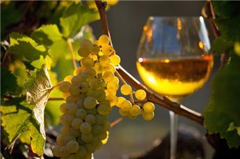 Vitis vinifera Chardonnay Pot C3