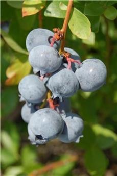 Myrtillier Blue Suede® Pot C10