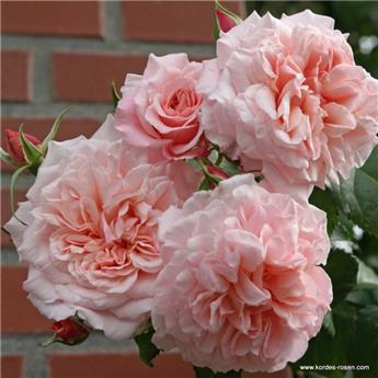 Rosier Rose de Tolbiac Pot C3
