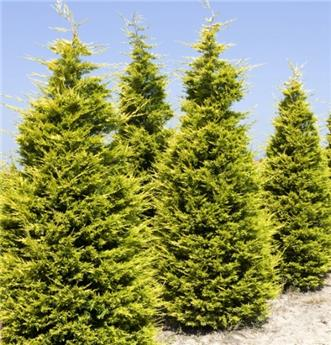 Chamaecyparis laws Golden  Wonder 350 400 cm motte grillagée ** plante XXL **