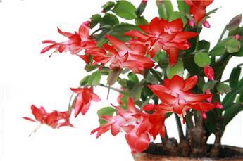 Schlumbergera - Cactus de Noël