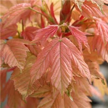 Acer pseudoplatanus Brillantissimum Haute Tige 08 10 * Tronc 180 cm