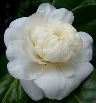 Camellia japonica Baby Siij Pot C7.5 ** 7 ans **