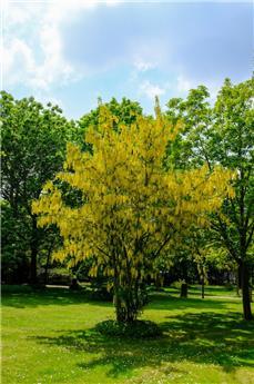 Laburnum anagyroides Baliveau Multi-troncs 300 350 cm Pot C70 Cépée bien ramifiée ** Pluie d´or **