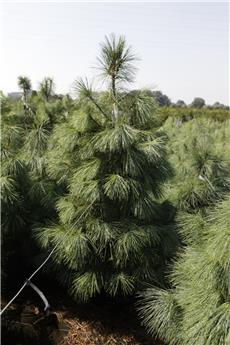 Pinus wallichiana 80 100