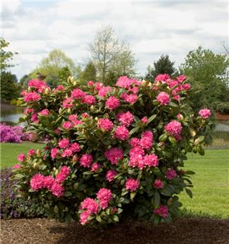 Rhododendron Rocket 50 60 Pot C5
