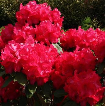 Rhododendron Markeeta S Prize 40 60 cm Pot C5L