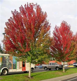 Acer freemanii Autumn Blaze (Jeffersred) ht 12 14 motte