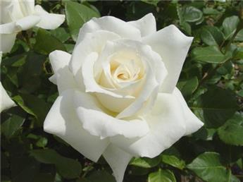 Rosier Jeanne Moreau ® Pot ** Parfumée **