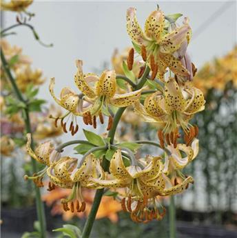 Lilium martagon Guinea Gold * 1 pc cal. 16/18 ** Lys vivace **