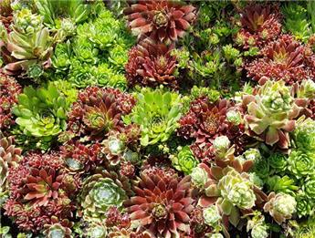 Sempervivum variés