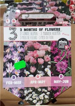 Bulbes mix 3 mois florason Rose  (VT) ** A planter en automne **