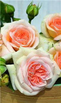 Rosier Amber Voluptia Pot C2 ** Très parfumé **