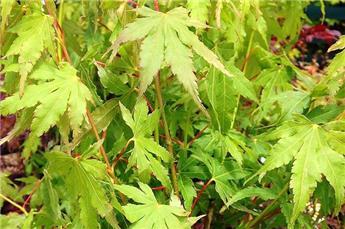 Acer palmatum Going Green C1