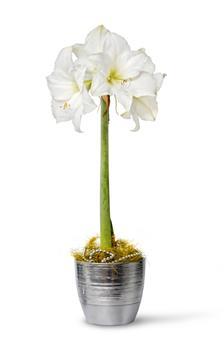 Amaryllis blanc * 1 pc cal.28/30 ** En boîte décorative **