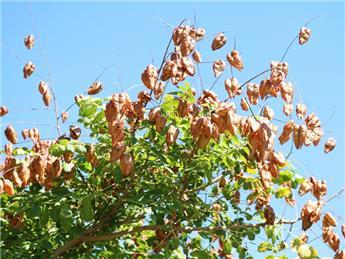Koelreuteria paniculata  Buisson Pot C3.5  ** Savonnier de Chine **