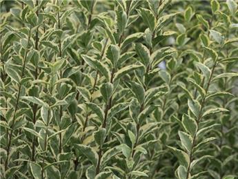 Ligustrum ovalifolium Argenteum 40 60 cm Pot C3