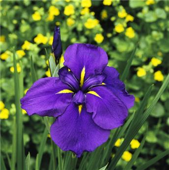 Iris ensata Blueberry Pie * 1 Pc ** Vivace **