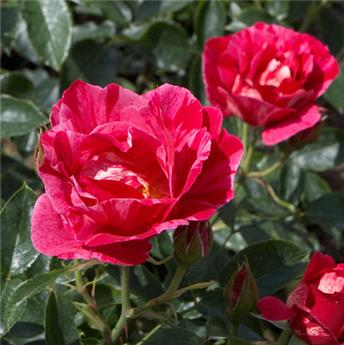 Rosier Guy Savoy ® Pot  **Parfumé** Pot C5 Palissé XXL