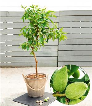 Amandier Fruit Me Almond Me Pot C10 ** Variété autofertile ** Prunus dulcis