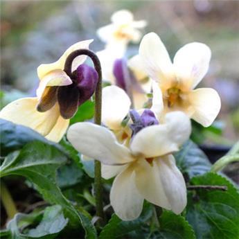 Viola odorata Sulfurea Pot C 1.5