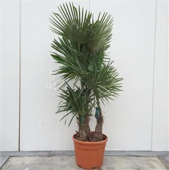 Trachycarpus Fortunei Pot P50 Ht 200 225 cm 3 troncs